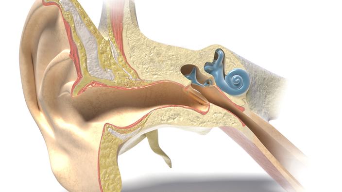 Dibujo de un oído humano en sección transversal