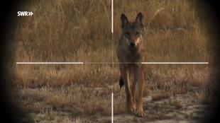 Ein Wolf im Fadenkreuz.